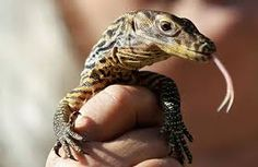 Resultado de imagen para cria de lagarto de komodo