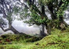 madeira laurel forest - Bing images