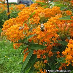 The famous orange milkweed species native from Canada to Florida. Needs fast-draining soil and full sun. Perennial