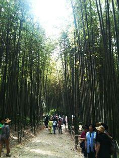 Bamboo Forest in Jeollabuk-do, Korea.