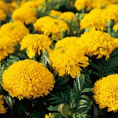 An African Marigold with Mum-shaped double blooms of rich gold, arising in spring and fall as well as summer. Very showy, large-flowered, and long-blooming!