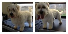 Edgar Before and After looking spawriffic from our Surrey Team here http://www.aussiepetmobile.ca/surrey-langley-white-rock/
