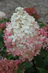 Vanilla Strawberry Hydrangea  Blooms mid summer to late fall