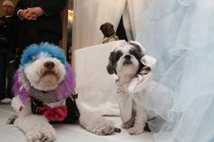 """The wedding in New York City Thursday night of Baby Hope, a Coton de Tulear, to Chilly Pasternak, a Poodle, set a new record as the most expensive animal wedding in history - and doubled as a black-tie gala benefiting the Humane Society of New York. Including Baby Hope's custom-sewn gown, the lighting design, a """"Cake Boss"""" cake, and the dulcet services of the best orchestra in Gotham, the price tag came to $158,187.26."""