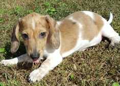 Dachshund Puppies for Sale Dachshund Puppies For Sale, Dachshund Love, Small Dogs, Fur Babies, Corgi, Wiener Dogs, Animals, Animales, Little Dogs