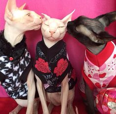 Will you be my Valentine? Rumple, Tater, and Princess wearing their Sphynx Nudie Patootie!
