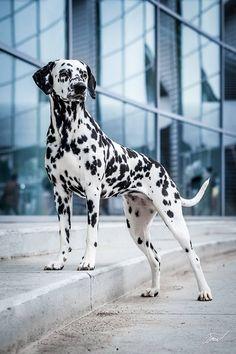 Dalmatian. By cernohebova.