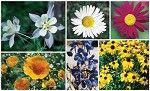 Washington Wildflower Mix