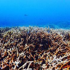 【all.mi03】さんのInstagramをピンしています。 《. 🐚𓇼🐚𓇼🐚𓇼 . . #枝サンゴ のんびり ゆったり #カメ さんもいるよ𓆉 . . 💙💚💛💜❤ . . 🐚𓇼🐚𓇼🐚𓇼 . . #太陽 #海  #空  #青空  #波  #ビーチ  #サンゴ #海好き  #雲  #青  #自然  #砂浜 #水中写真 #nature  #sea  #wave  #sun  #sunnyday  #beach  #bluesky #shell》