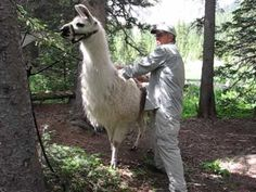 Charlie Hackbarth of Sopris Unlimited demonstrates the patting technique for desensitizing your llama (or alpaca). This is one of the first steps of training. Llamas, Sheep, Goats, Training, Animals, Animaux, Animal, Work Out, Education