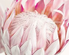 Title: King Protea A beautiful, soft, King Protea photograph with pale pink tones. Flor Protea, Protea Art, Protea Flower, Exotic Flowers, Pink Flowers, Beautiful Flowers, Painted Flowers, Paper Flowers, Nursery Wall Art