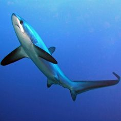 I don't know what it is about the Thresher Shark but I find it so beautiful. Maybe it's the beautiful long tail.
