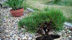 Mugo Pine Bonsai Preparation Part Dwarf Alberta Spruce, Mugo Pine, Low Water Landscaping, Pine Bonsai, Asian Garden, Bonsai Garden, Seeds, Landscape, Plants