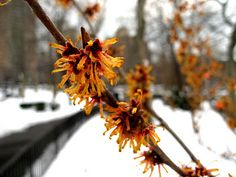Orange witchhazel