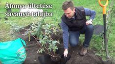 Áfonya ültetése savanyú talajba