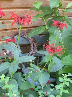 Bee balm - plant with tomatoes to improve health and flavor Garden Paths, Herb Garden, Vegetable Garden, Bee Balm Plant, Tropical Garden, Country Life, Grapevine Wreath, Grape Vines, Outdoor Gardens