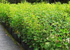 8 tuuheaa koristepensasta - valitse suosikkisi!   Meillä kotona Hedges, Garden, Plants, Garten, Lawn And Garden, Living Fence, Gardens, Plant, Shrubs
