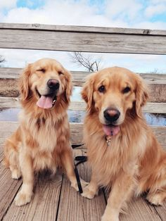 Golden retriever #goldenretriever