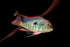 Geophagus sp. Red Top Araguaia