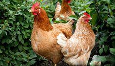 الاحماض العضويه و استخدامها في تغذيه الدواجن كبديل لمنشطات النمو التقليديه - mazra3ty | مزرعتي