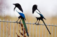 two magpies - Google Search