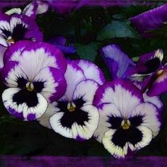 I love Pansies. Reminds me of my special relationships, my grandma, my mom and my grandchildren.