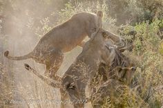We were lucky to watch the Kwetsani Pride bring down a fully-grown wildebeest, with the cubs joining in for the hunt and kill. Cubs, Wilderness, Safari, Pride, Elephant, Camping, Watch, Canvas, Pictures