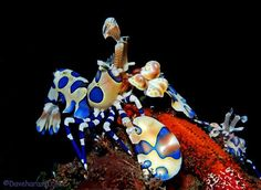Harlequin shrimp live in pairs & feed exclusively on starfish. They grow to 5 centimetres & gain toxins from their prey. Life Under The Sea, Under The Ocean, Underwater Images, Underwater World, Ocean Deep, Underwater Photographer, Life Aquatic, Underwater Creatures, Colorful Animals
