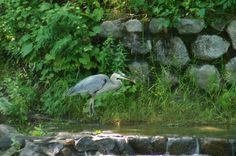 Great Blue Heron, fishing.