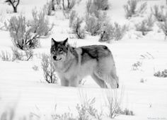 Yellowstone Wolves, The Howling, Winter Painting, Beautiful Wolves, Anime Wolf, Lunar Chronicles, Funny Cute, Funny Animals, Husky