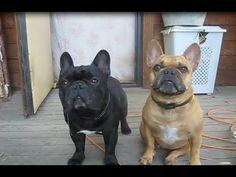French Bulldog - Playful and Smart