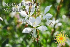 """Indian Feather 'Sparkle White' Plant in full sun, blooms spring to late summer and reaches a height of 12-24"""""""