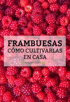 Descubre cómo cultivar frambuesas en casa en #hogarmania