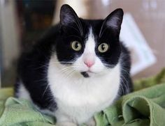 Looks like my late Socks... I have never had a tuxedo cat with a bad personality!!