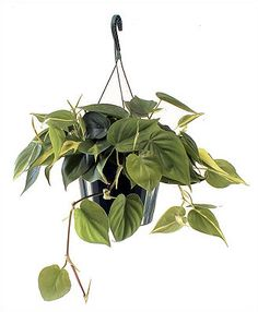 hanging philodendron good for low light and cleaning the air and a heart shaped leaf to represent love :)