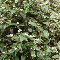 Gibasis Geniculata (Bridal Veil)