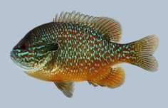 Lepomis megalotis Longear Sunfish | Flickr - Photo Sharing!