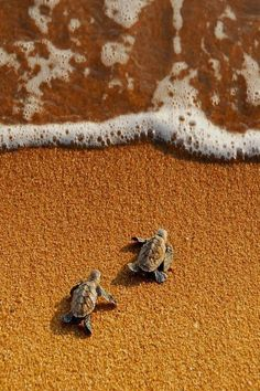 Baby turtles have the instincts to survive from birth...