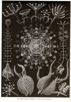 Art Forms of Nature - Phaeodaria - Ernst Haeckel Artwork Sizes Art Prints, Giclees, Posters, Wood Illustration Art Nouveau, Illustration Photo, Illustration Botanique, Botanical Illustration, Illustration Artists, Ernst Haeckel Art, Art Et Nature, Nature Drawing, Nature Prints