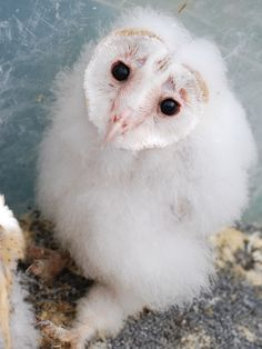 1000+ images about Baby owls to torture alex on Pinterest ...