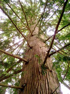 Back yard pine photo