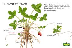 growing strawberries: illustration of how to plant