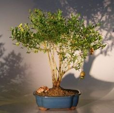 Bonsai Boys Flowering  Fruiting Dwarf Pomegranate Bonsai Tree  Large punica granatum -- Find out more about the great gardening product at the image link.