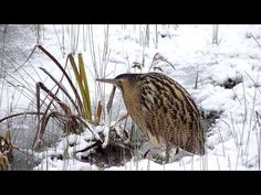 Bittern in snow at Castle Water, Rye Harbour nature reserve Rye Harbour, World Wetlands Day, Nature Reserve, Wildlife, Castle, Snow, Bird, Water, Michigan