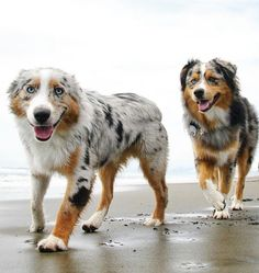 australianshepherdworld - My Aussie's - Juna, Lou Rey & Elli - Perros Australian Shepherd Puppies, Aussie Puppies, Cute Dogs And Puppies, Australian Shepherds, Corgi Puppies, Pets, Pet Dogs, Weiner Dogs, Doggies