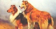 Old time Scotch Collies -- the farm dog of 100 years ago.