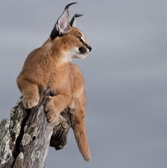 Caracal Caracal Kittens, Serval Cats, Cats And Kittens, Nature Animals, Animals And Pets, Cute Animals, Big Cats, Cool Cats, Reptiles