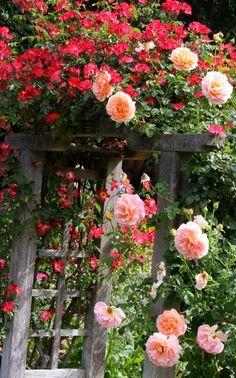 roses                                                                                                                                                     Mais