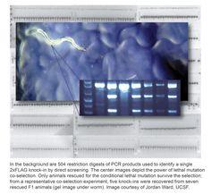 """An """"elegans"""" Approach to Better CRISPR/Cas9 Editing Efficiency"""