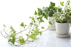 House Plants - English Ivy    Beautiful hanging plants or creepers, they like moist, well-drained soil and bright light. Tip: to keep it bushy, pinch of the tips of new growth.
